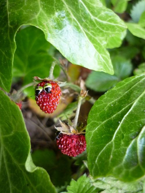 funny strawberry wood strawberry strawberry with eyes