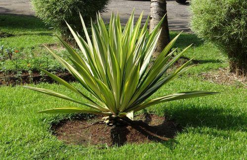 furcraea foetida mediopicta furcraea gigantea striata agave