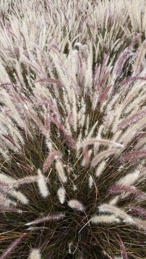 Furry Weed Grass
