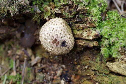 fuzz-ball mushroom trunk