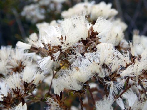 Fuzzy White Wild Flower Plant