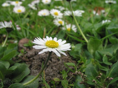 gaensebluemche rush meadow