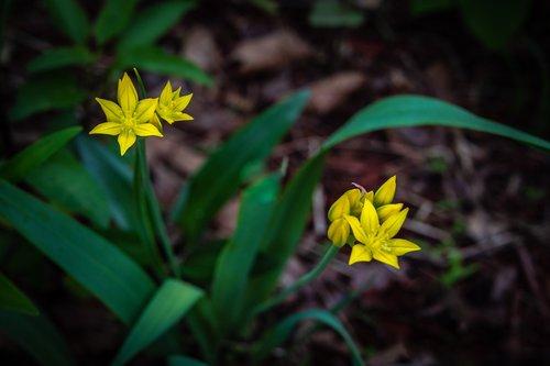 gagea lutea  yellow star of bethlehem  flower