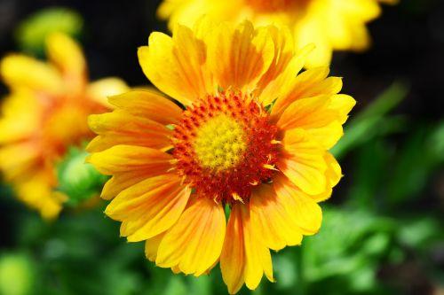 gaillardia blanket flower sunflower family