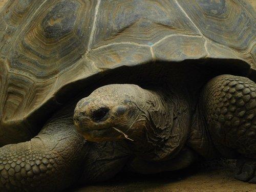 galapagos giant tortoise  turtle  galapagos