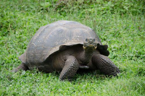 galapagos islands galapagos tortoise galapagos