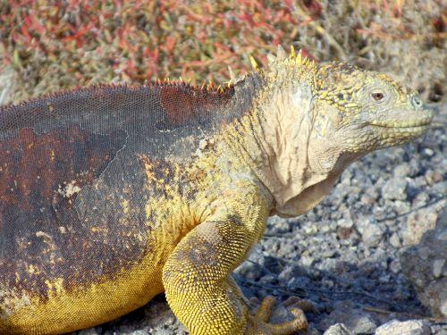Galapagos Lizard Close Up