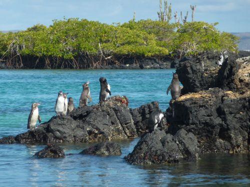 galápagos penguin spheniscus mendiculus penguin