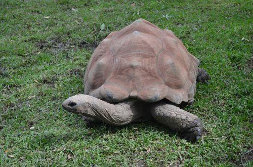 galapagos tortoise tortoise giant tortoise