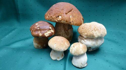 galbraith steinplize boletus edulis mushroom