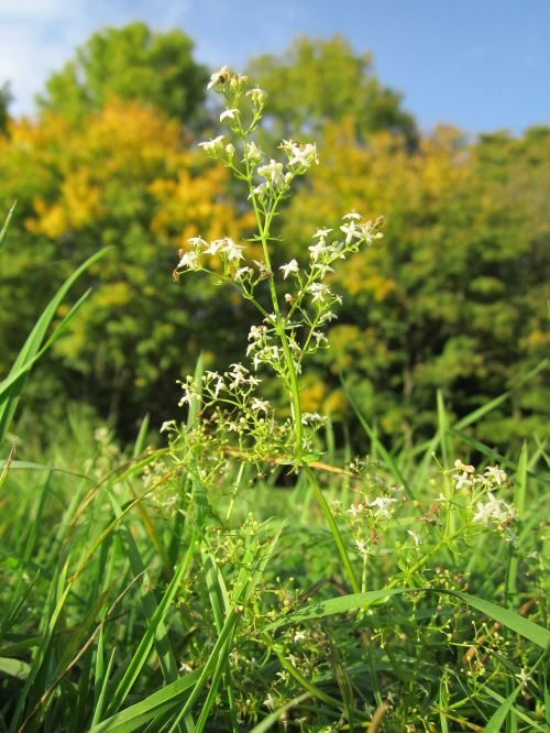 galium mollugo hedge bedstraw false babys breath