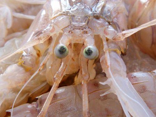 galley crustacean eyes
