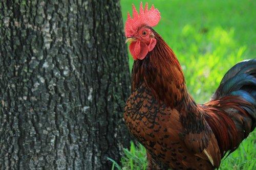 gallo  hen  farm