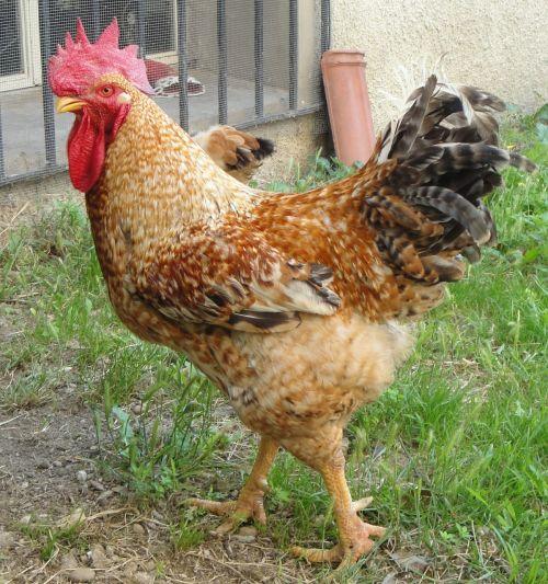 gallo chicken coop animals
