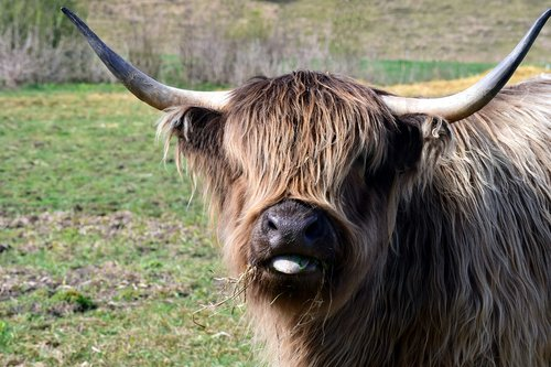 galloway  highland beef  scottish