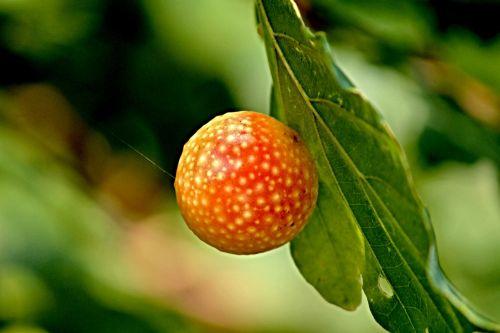 galls oriental chestnut gall wasp oak gall