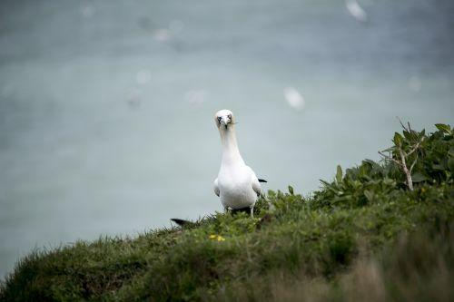 gannet seabird wildlife