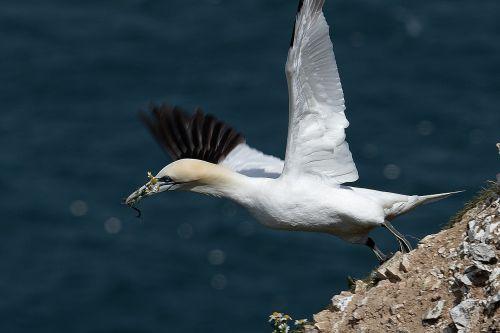 gannet seabird water