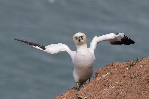 gannet wildlife birdwatching