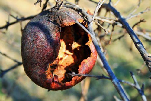 Gaping Pomegranate Hull