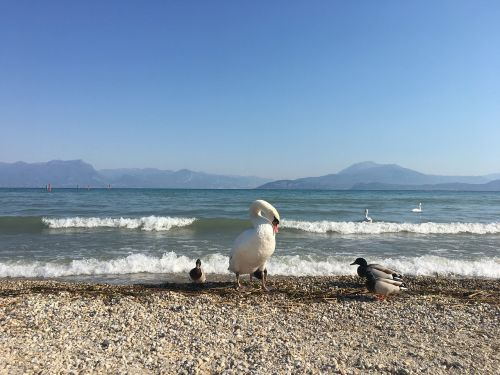 garda lake swan