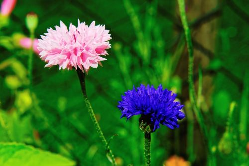 garden flowers cornflowers