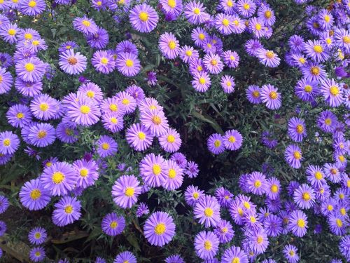 garden violet flowers flowers