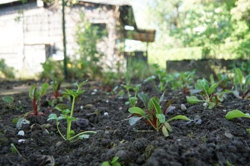 garden bed chard