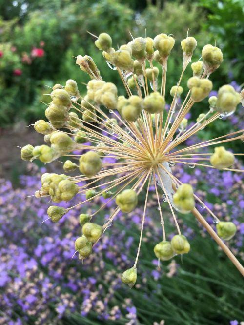 sodas,gėlė,violetinė,flora,gėlių sodas,Uždaryti,gamta,vasara