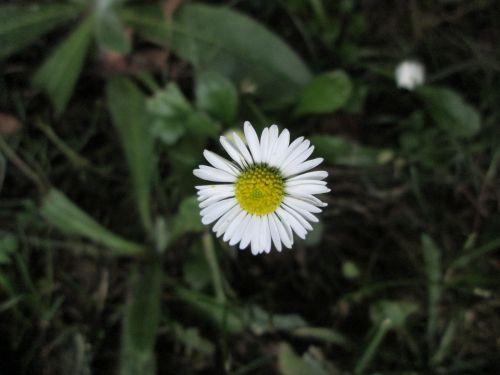 sodas,bellis,žalias,vejyje,Daisy,vasara,gėlės,gėlė,vasaros gėlės,žydėjimas,augalai,augalas,Švedija,balta,Švedijos vasara,balta gėlė