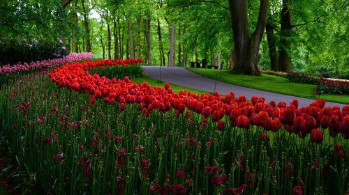 sodas,Nyderlandai,tulpės