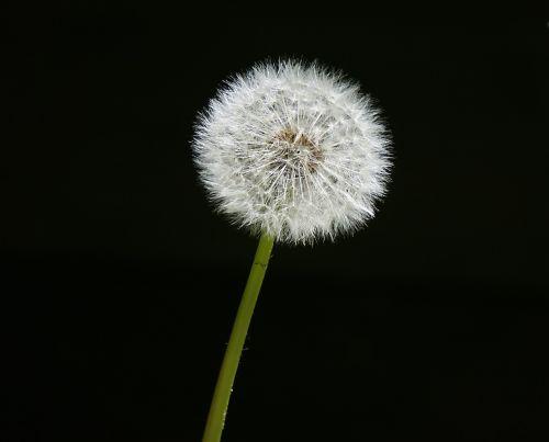 garden dandelion p