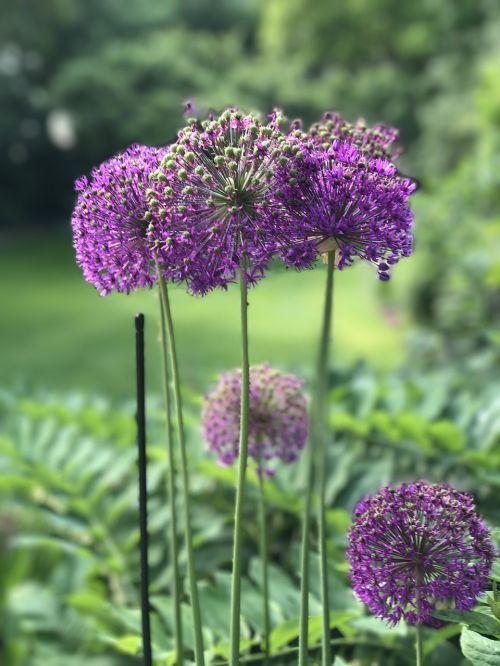 garden alium bol