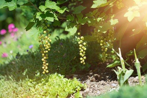 garden  currant  currants