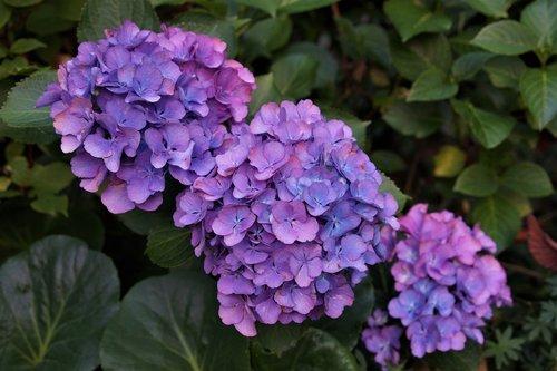 garden  hydrangeas  bloom