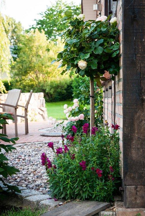 garden  roses  rosebush