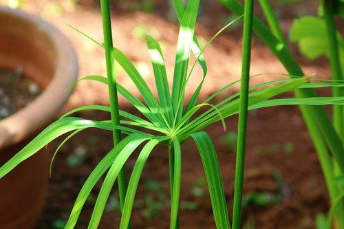 garden  papyrus  green
