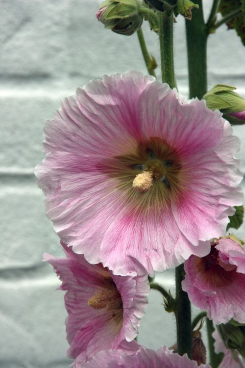 garden hollyhock flower