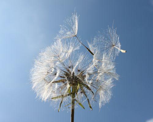garden dandelion lint
