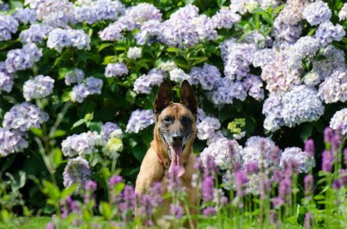 garden dog and garden hydrangea