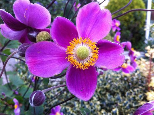 garden anemone perennial garden plant