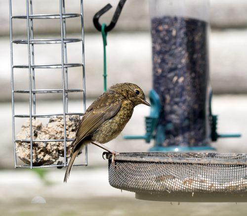 sodo paukščiai,maitinimas,gamta,žvirblis,laukiniai