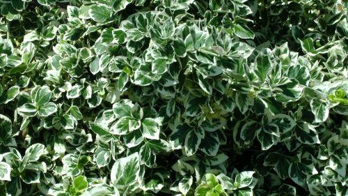 Garden Bushes Background