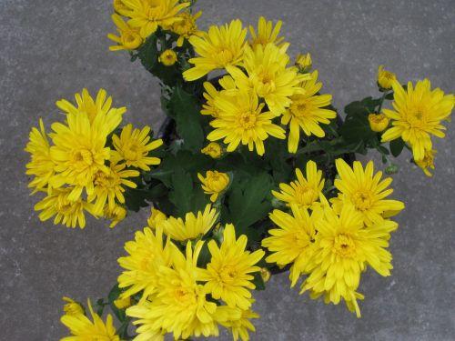 garden chrysantheme garden chrysanthemum chrysanthemum