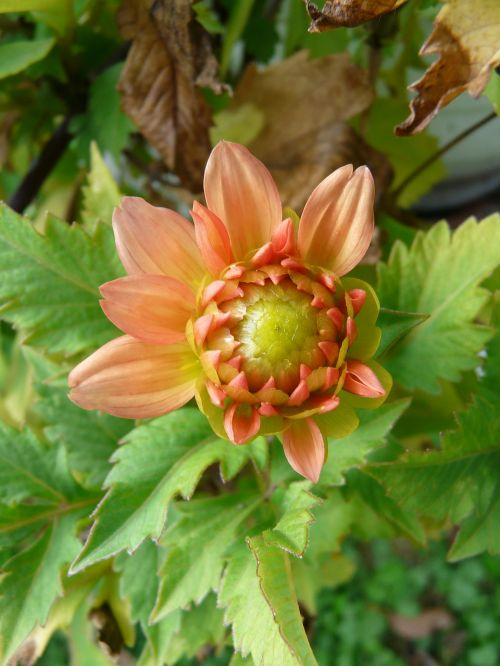 garden dahlia orange flower