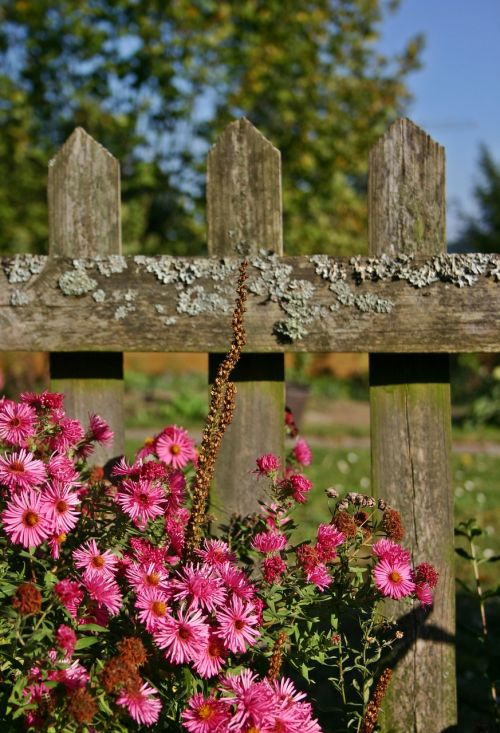 garden fence fence aster
