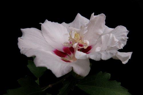 garden hibiscus  hibiscus syriacus  speciosus