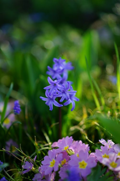 garden hyacinth flower blossom