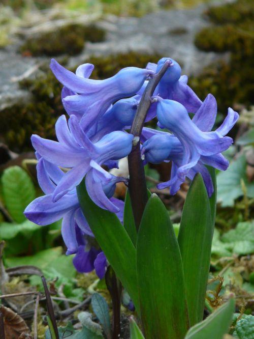 garden hyacinth hyacinthus orientalis hyacinth