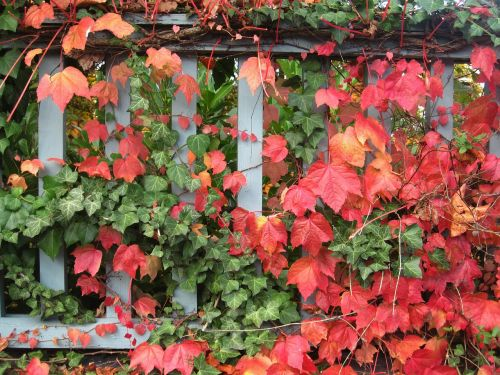 garden in autumn wine partner ivy and wine
